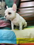 4 weeks old french bulldog puppy