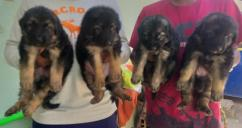 showqualityGermanshepherdpupsavailable