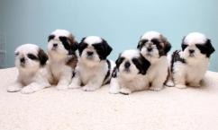 top quality amazing litter shihtzu puppies available in bangalore