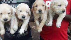 top most quality golden retriever puppies for sale in bangalore
