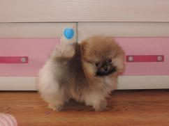 adorable quality toy pom puppies availablle in bangalore