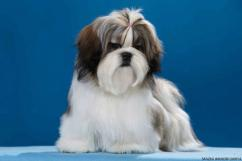 Top quality show breeded Shihtzu pups available in Bangalore