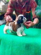Top most quality Shihtzu puppies available in Bangalore