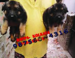 Show Quality GERMAN SHEPHERD Dogs Sale At JAMSHEDPUR