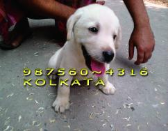 ORIGINAL LABRADOR Dogs Available  Here At  jamshedpur