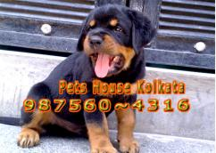 Show Quality Original ROT WAILER Dogs  At SILIGURI