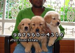 GOLDEN RETRIEVER Dogs puppies At BARASAT