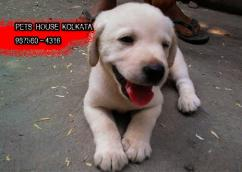 Show Quality LABRADOR Dogs Sale At DURGAPUR