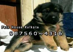 GERMAN SHEPHERD Dogs puppies At ASANSOL