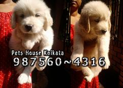 Show Quality GOLDEN RETRIEVER Dog Puppies At HOWRAH
