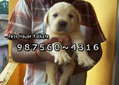 Original LABRADOR Dogs SALE At KRISHNAGAR