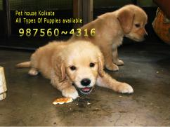 Imported Quality GOLDEN RETRIEVER Dogs puppies Sale At JORHAT