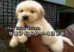 Imported GOLDEN RETRIEVER Dogs puppies sale At KOHIMA