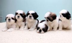 adorable quality shihtzu puppies availablle in bangalore
