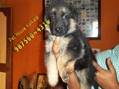 Show Quality GERMAN SHEPHERD dogs Avail At KOLKATA