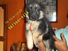 Show Quality GERMAN SHEPHERD dogs Avail At KOLKATA
