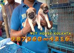 Vodafone PUG Dogs Pets Available At  SHILLONG