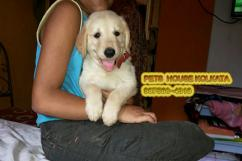 Show  Quality GOLDEN RETRIEVER Dogs At GUWAHATI