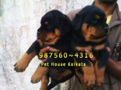 Show Quality  ROT WAILER dogs Pets At AIZAWL