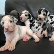 GOOD LOOKING GREAT DANE PUPPIES FOR SALE KCI REGISTERED AND Vaccinated