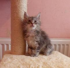 Mainecoon kittens -female