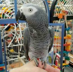 6 Months Adorable African Grey Parrots