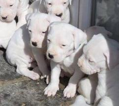 Top quality Dogo Argentino available for good homes