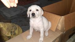 35 days Labrador puppies (female) available