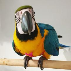 Beautiful Blue and Gold Macaws Parrots For Sale