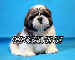 Extraordinary quality shihtzu puppies for sale in Bangalore