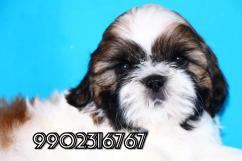 Extraordinary quality breed shihtzu puppies for sale in Bangalore