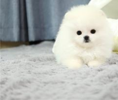 Quality Registered Pomeranian Registered Pomeranian. they are vaccinated and dew