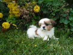 Awesome Shih Tzu Puppy Available