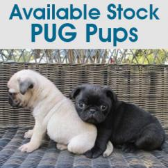 Pug Pups in Chandigarh and Punjab