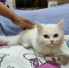 Pure white semipunch faced Persian kitten