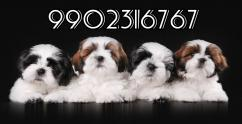 extraordinary quality shih tzu puppies for sale in bangalore