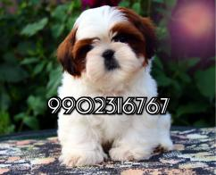outstanding quality shih tzu puppies for sale in bangalore