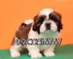 very outstanding shih tzu puppies for sale in bangalore