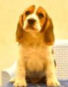 Beagle Dog for sale
