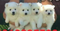 pure Breed Puppies Heavy for sale