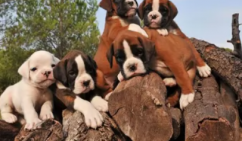 Boxer Puppies In Bangalore for sale
