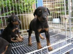 Doberman Pinscher Puppies