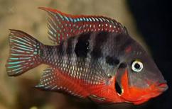 Healthy and active Bains fish