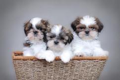 Fantastic quality Shih Tzu puppies