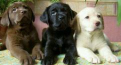LABRADOR Golden And Black pups