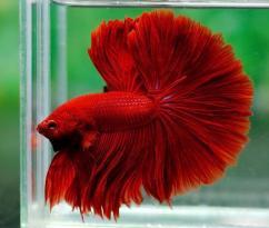 Blood red betta fighter fish