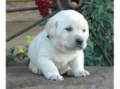 Adorable Labrador puppy waiting for you