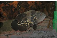 Divine Aquarium Online Store offer on Oscars - Fish for sale