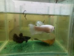 Crowntail female bettas fish
