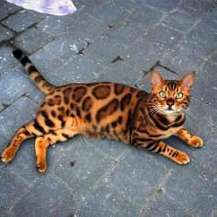 Sweet and cute beagel kitten